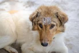 squamous cell carcinoma in dogs skin
