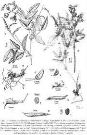 Lathyrus occidentalis