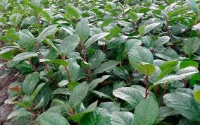 Αρώνια. Θαυματουργό φυτό με απίστευτες ευεργετικές ιδιότητες