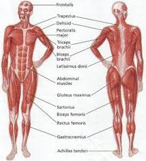 Muscular System Human Anatomy On Human Body Anatomical Chart
