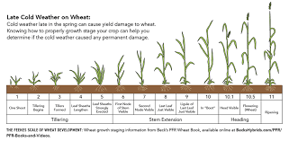 Winter Wheat Growth Stages Chart Agronomy Talk Spring Freeze Damage To Winter Wheat