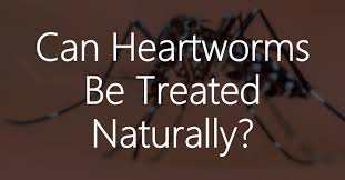 natural heartworm treatment. The Conventional Treatment, A Series Of Injections With Drug Named Immiticide (sometimes After Antibiotic Treatment Doxycyline As Precautionary Natural Heartworm T