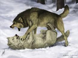 white wolf and black wolf fighting. Modren Wolf Fight By Yelloweyes  In White Wolf And Black Fighting L