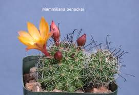 5 00 rooted offsets dark green body with short black and white spines hooked central large light orange flowers an unusual color for this genus