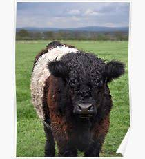 belted galloway poster