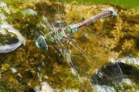 Senkrechtstarter Libelle Kanareninsel Fotogalerie