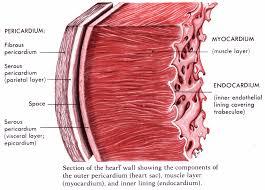 pericardial sac heart anatomy echo class 101