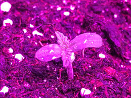 GrowDiaries Crystal XxX Meth by FB. Week 1