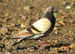 Birds Observed at Pu`ukoholā Heiau (U.S. National Park Service)