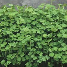 organic arugula microgreens