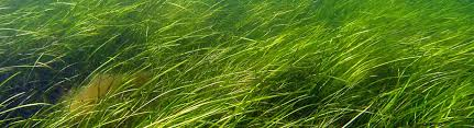 Seagrass And Seagrass Beds Smithsonian Ocean