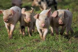 farm animals pictures.  Pictures The RSPCA Works Hard To Try Improve The Welfare Of As Many Farm Animals  Possible At Every Stage Their Lives With Farm Animals Pictures B