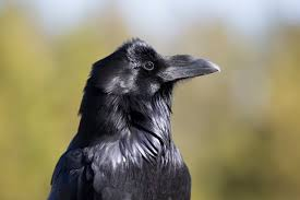 Crow Vending Machine Plans Amazing Ravens Ace Intelligence Tests Exceeding The Skills Of Some Primates