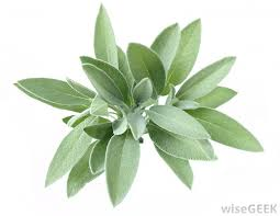 sage can be used as a bedding plant
