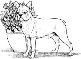Small Picture boston terrier coloring pages 28 images baby boston terrier