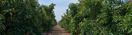 Avocado Sizing Index Fresh