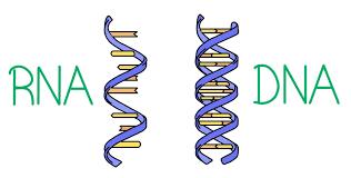 Venn Diagram Comparing Dna And Rna Dna Vs Rna Expii
