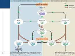 Humoral Immunity Flow Chart The Evolution Of The Immune System Ppt Download