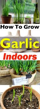 Growing garlic indoors is not difficult and you'll be able to get the supply