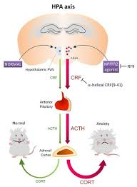 Hpa Axis Ijms Special Issue Role Of The Hypothalamo Pituitary Adrenal