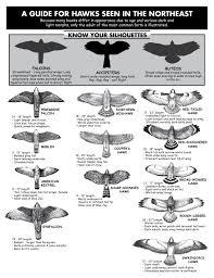 Hawk Identification Guide From Hawk Migration Association