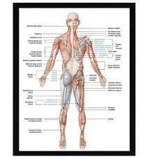 Human Body Muscular System Anatomy Poster Set Laminated