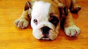 baby english bulldog wallpaper. Perfect Wallpaper Bulldog Puppy Wallpaper In Baby English W