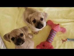 baby puggles.  Baby Baby Puggles PUNu0027s Puggles And Puggles A