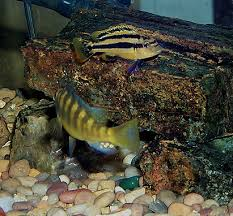 African Cichlid Aggression Chart The Aquarium Environment Selecting Compatible Cichlids