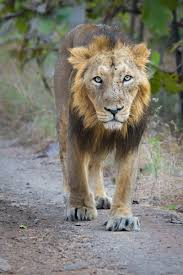 asiatic lion  a male in gir forest