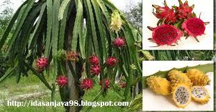 Dragon Fruit  Hylocereus Undatus  Seeds  SeedsHow To Take Care Of Dragon Fruit Tree