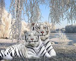 cute baby tigers wallpapers. Contemporary Wallpapers Images For U003e Cute Baby White Tiger Wallpaper To Tigers Wallpapers