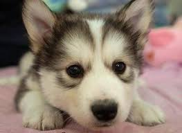 baby husky wallpaper. Contemporary Wallpaper Cute Baby Husky With Wallpaper L