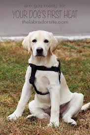 Female Dog Heat Cycle Chart How Long Does A Dog Stay In Heat Expert Guide And Faq