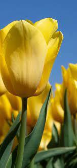 yellow tulips, bloom, farm ...