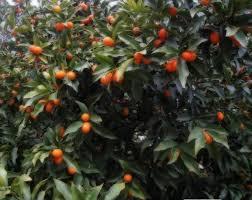 HONG KONG KUMQUAT TREE  Just Fruits And ExoticsKumquat Tree Not Bearing Fruit