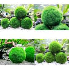 Decorative Moss Balls Decorative 60 Giant 60 to 6060 Very High Quality Real Marimo Moss 28