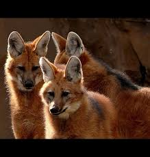 Small Picture 74 best Hondachtigen DHOLE Cuon alpinus images on Pinterest