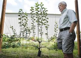 49 Best Spalierobst Images On Pinterest  Espalier Fruit Trees Growing Cordon Fruit Trees