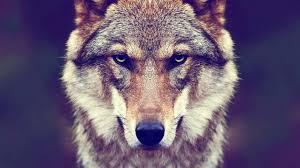 Hintergründe Coole Wolf Bilder