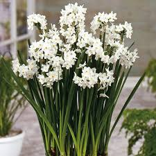White Paper Flower Bulbs Narcissus Papyraceus Bulbs At Dobies