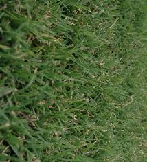 Grass Couch Nullarbor Couch Agturf Lawn Solutions