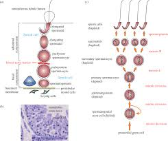The Biology Of Spermatogenesis In The Rat A Schematic