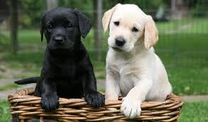 labrador retriever. Delighful Retriever Nick Ridley Animal Photography Black Labrador Retriever Puppy To E