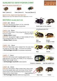 Black Beetle Identification Chart Dung Beetle Identification Chart Part 1 Black Beetles