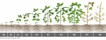Soybean Growth Stage Influence On Crop Management Decisions