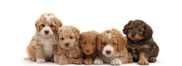 labradoodle names a collection of the