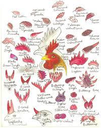 Comb Chart Chicken Comb Chart Really Slick Chicken Anatomy Chicken
