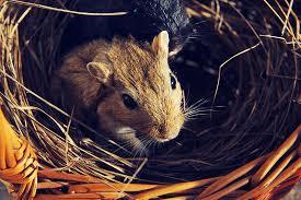 should gerbils have hay housing