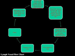 Lymph Flow Chart Ppt The Human Lymphatic Immune System Powerpoint